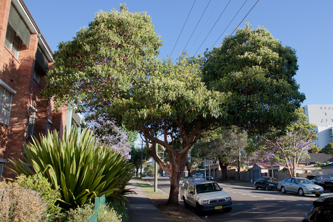 This was a really common sight in Hurstville, trees avoiding powerlines as they grew.