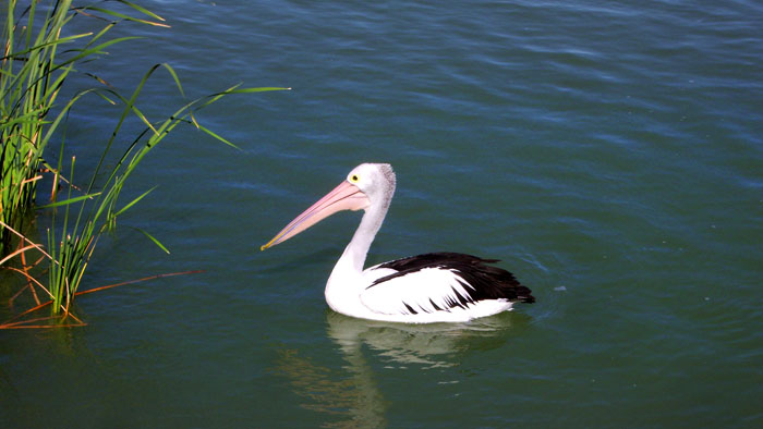 One of many pelicans in Adelaide's source of drinking water. I fed bread to this one.