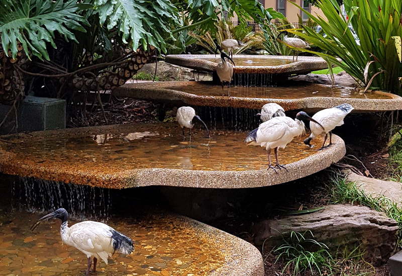 Ibises in the bush.