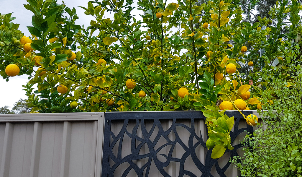 A lemon tree overhanging a fence.