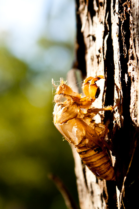 Also here's a cicada shell in case you need proof I'm actually in NSW.